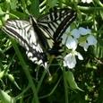 アゲハチョウと大根の花