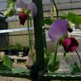 エンド豆の花
