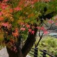 引原ダムの紅葉
