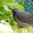 野菜とヒヨ鳥