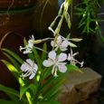 白花ヤナギラン