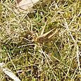 ツチイナゴ 越冬種