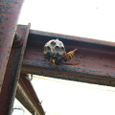 スズメバチがアシナガバチ巣を攻撃