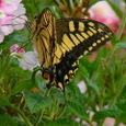 キイアゲハチョウ
