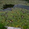 スイレンの花が咲く池