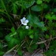 白花ゲンノショウコ