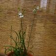 サギソウの花
