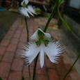 サギソウの花の拡大