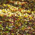 ナンキンハゼの落葉