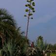 アオノリュウゼツランの花