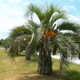 ココスヤシの樹